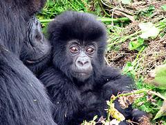 gorillabebis-24
