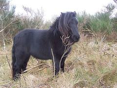 shetlandsponny