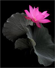Lotusblomm